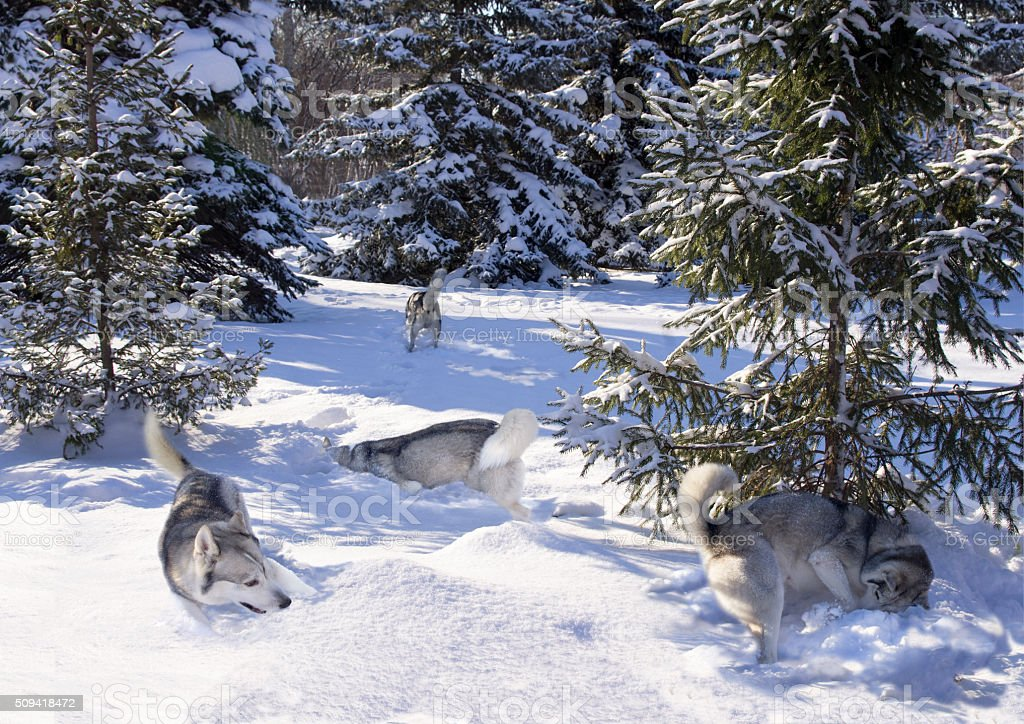 flock of Siberian Husky among the snow-covered firs stock photo