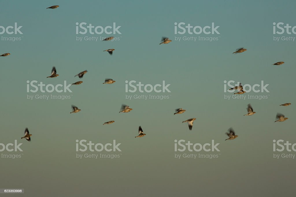 Flock of snow buntings in flight at Milford Point, Connecticut. stock photo