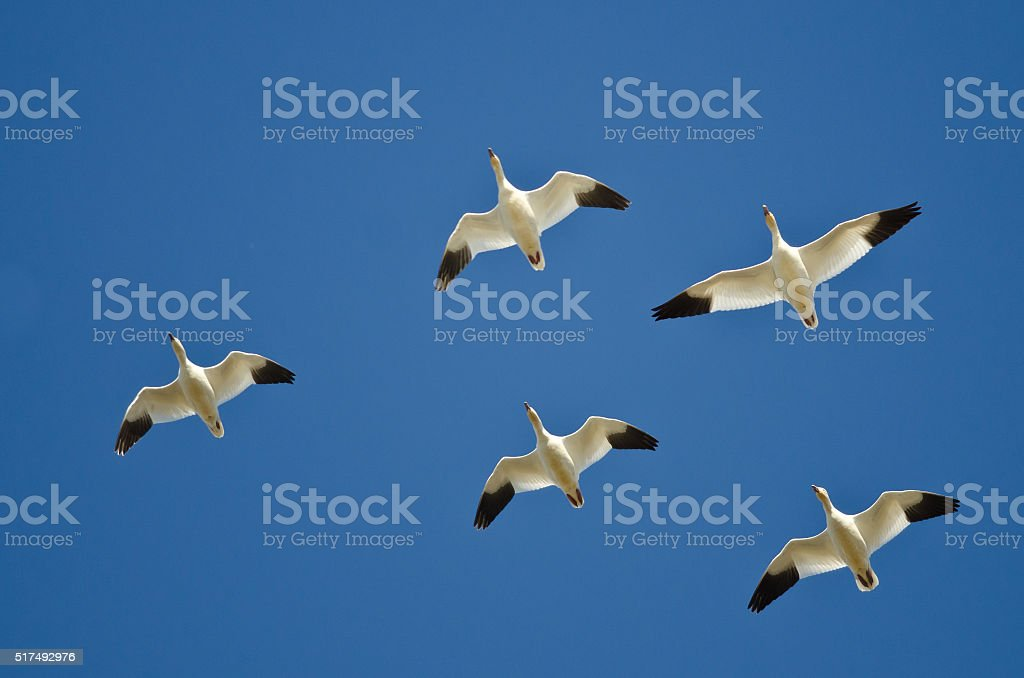 Flock of Snow Geese Flying in a Blue Sky stock photo