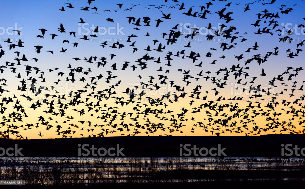 Flock of Snow Geese Flying over Pond at Sunrise stock photo