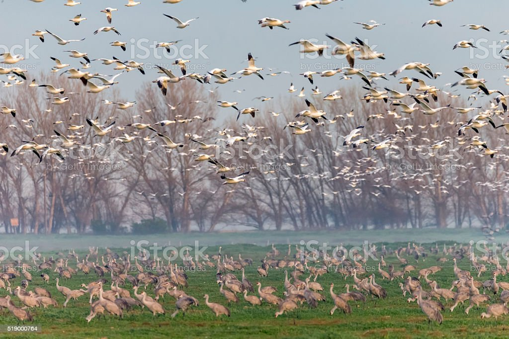 Flock of Snow geese, Sandhill Cranes and low fog stock photo