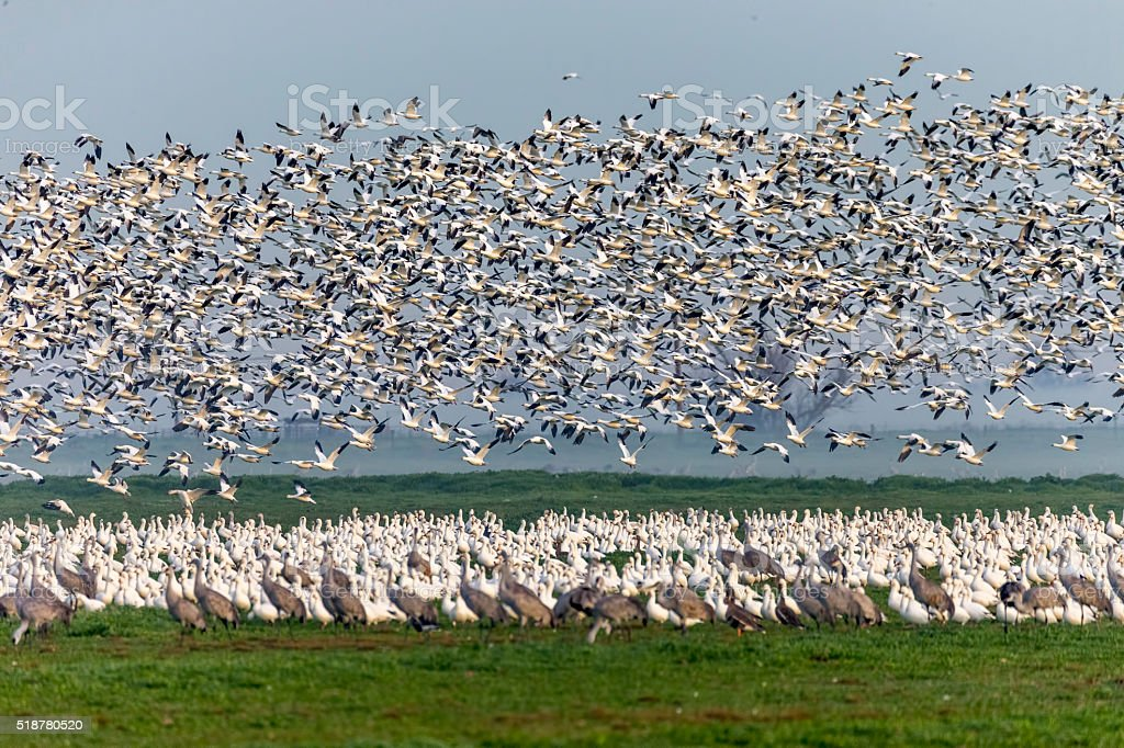 Flock of Snow Goose and low fog, California, USA stock photo