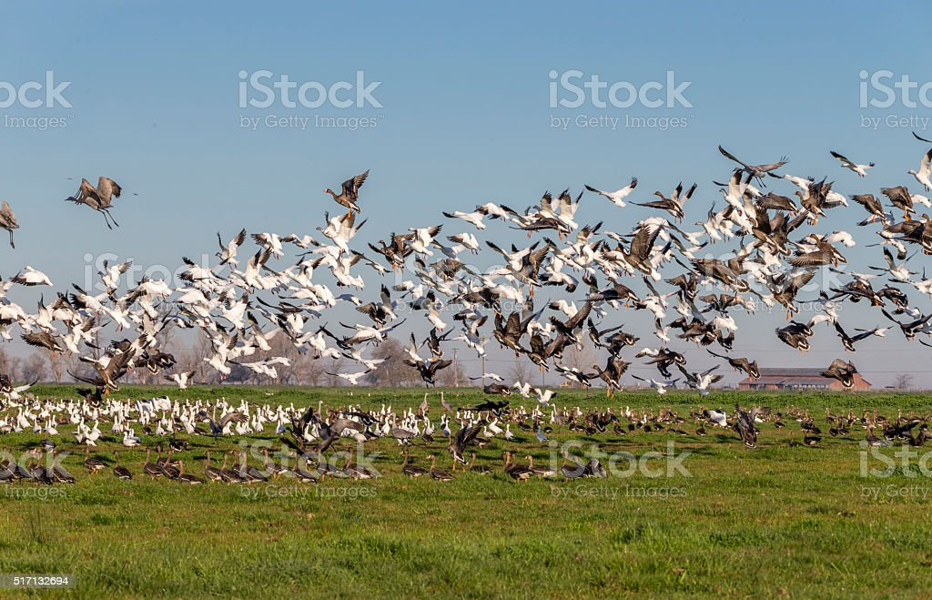 Flock of snow goose and Sandhill Cranes flying . 600mm lens. Canon...