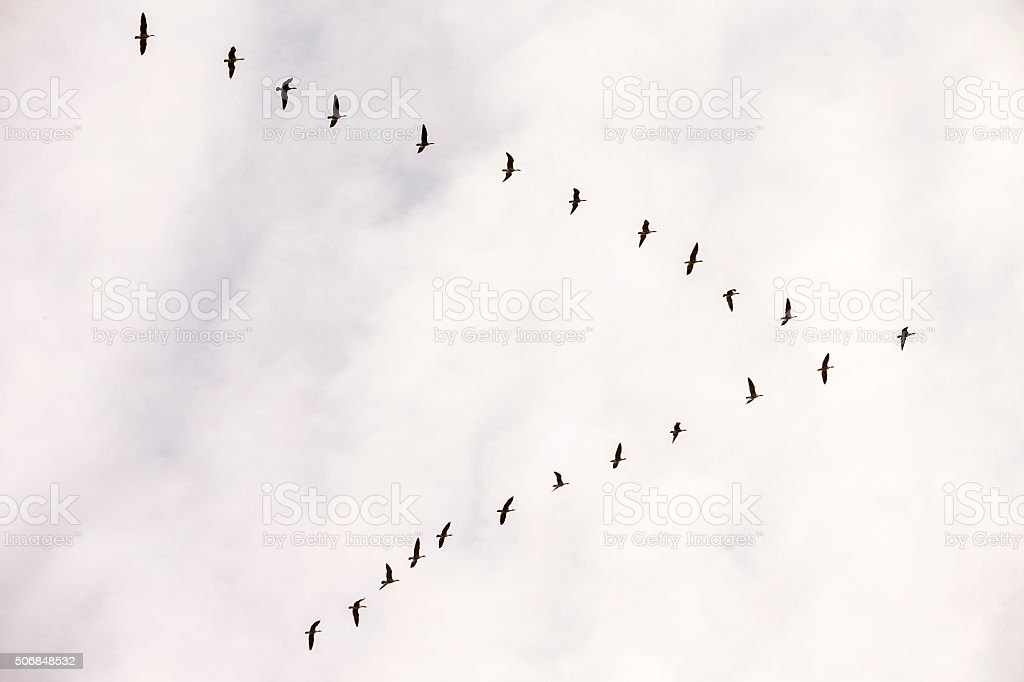 Flock of Snow Goose, California, USA stock photo