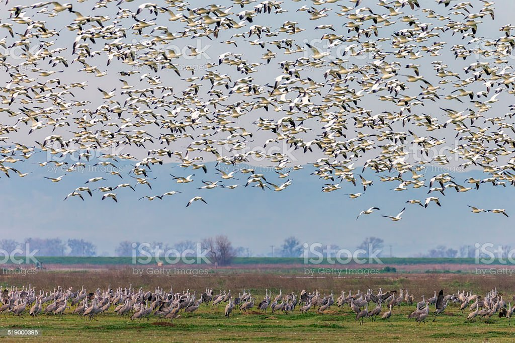 Flock of Snow Goose, California, USA stock photo