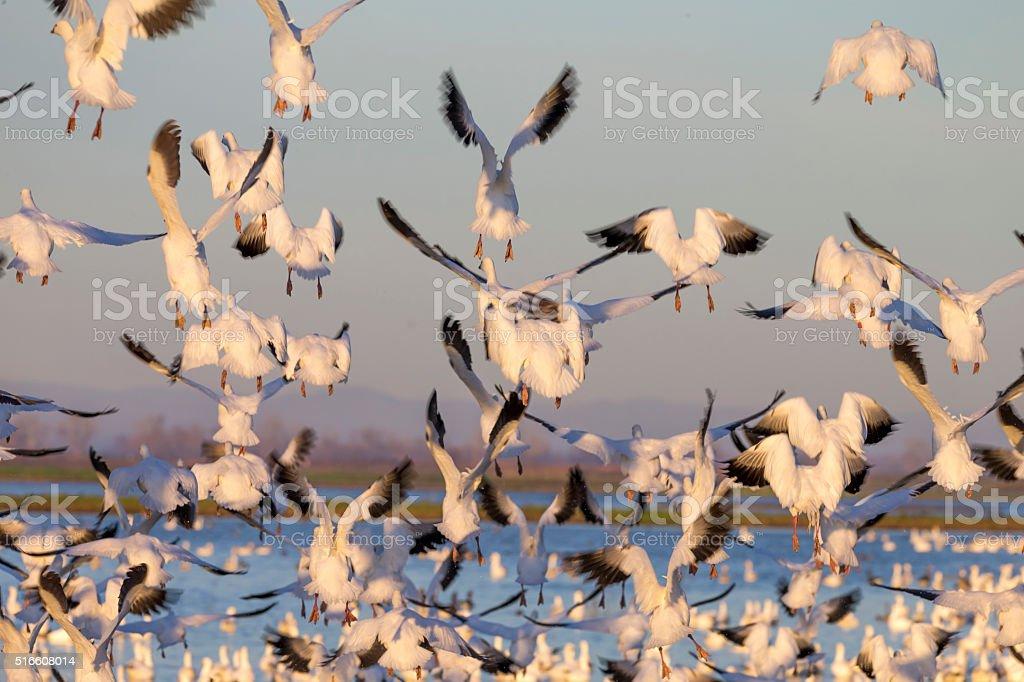Flock of Snow Goose flying, California, USA stock photo