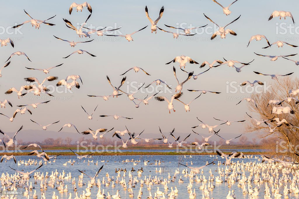 Flock of snow goose flying in winter time. 600mm lens. Canon 1Dx.