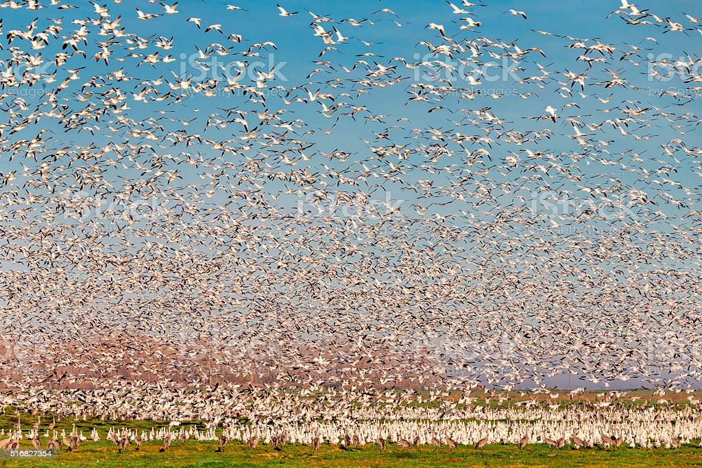 Flock of Snow Goose flying, California, USA stock photo