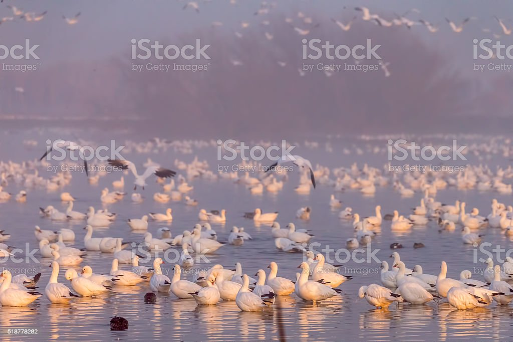 Flock of Snow Goose in the moring, California, USA stock photo