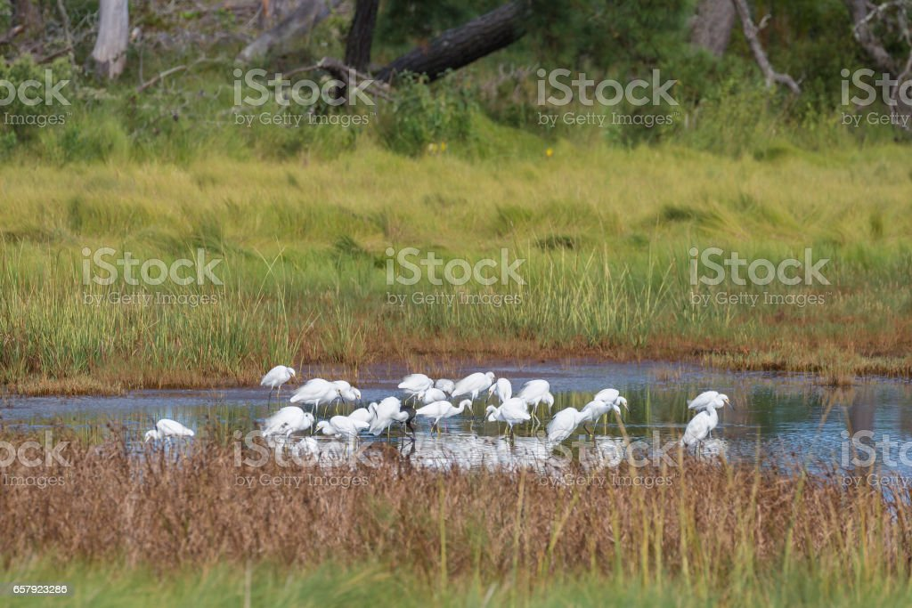 Flock of Snowy Egrets Foraging On Small Pond stock photo