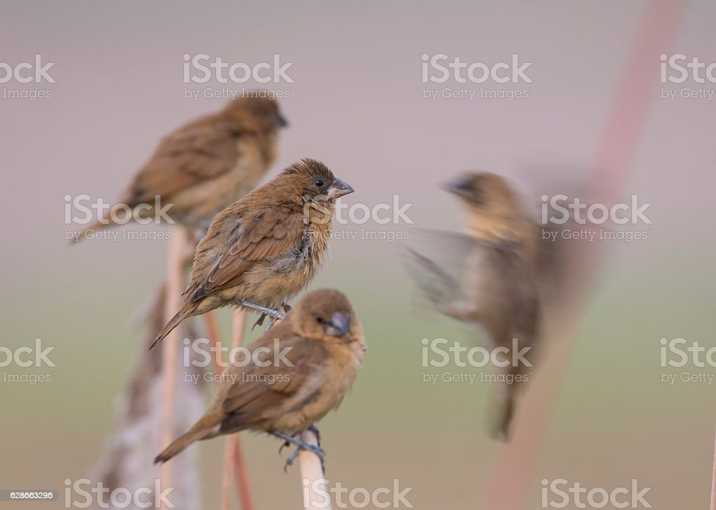 Flock of Spotted Munia stock photo