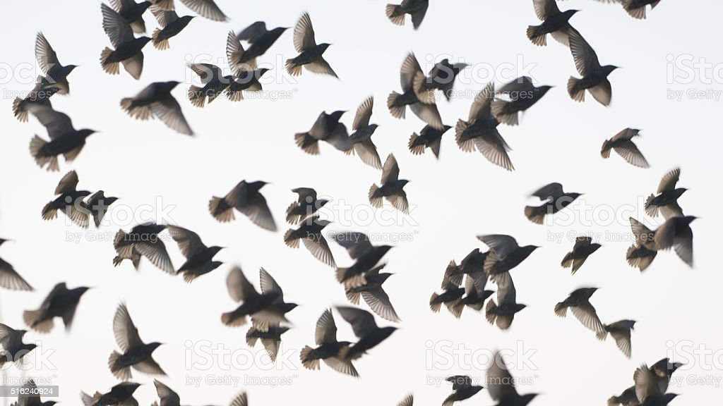 Flock of starlings flying up in blurred motion stock photo