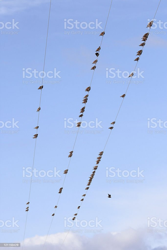 Flock Of Starlings On Wires royalty-free stock photo