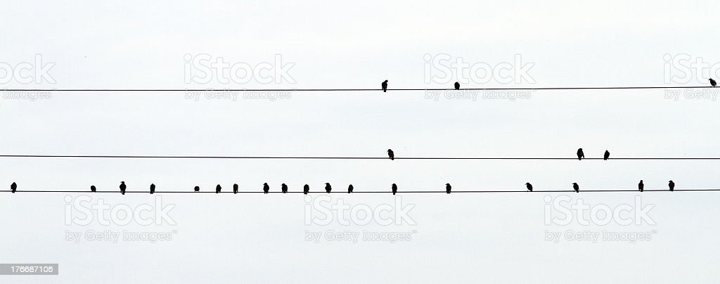 flock of starlings royalty-free stock photo