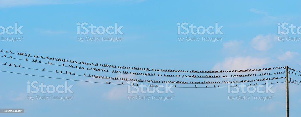 flock of starlings sitting on wire stock photo