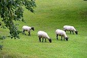Flock of Suffolk Sheep Grazing