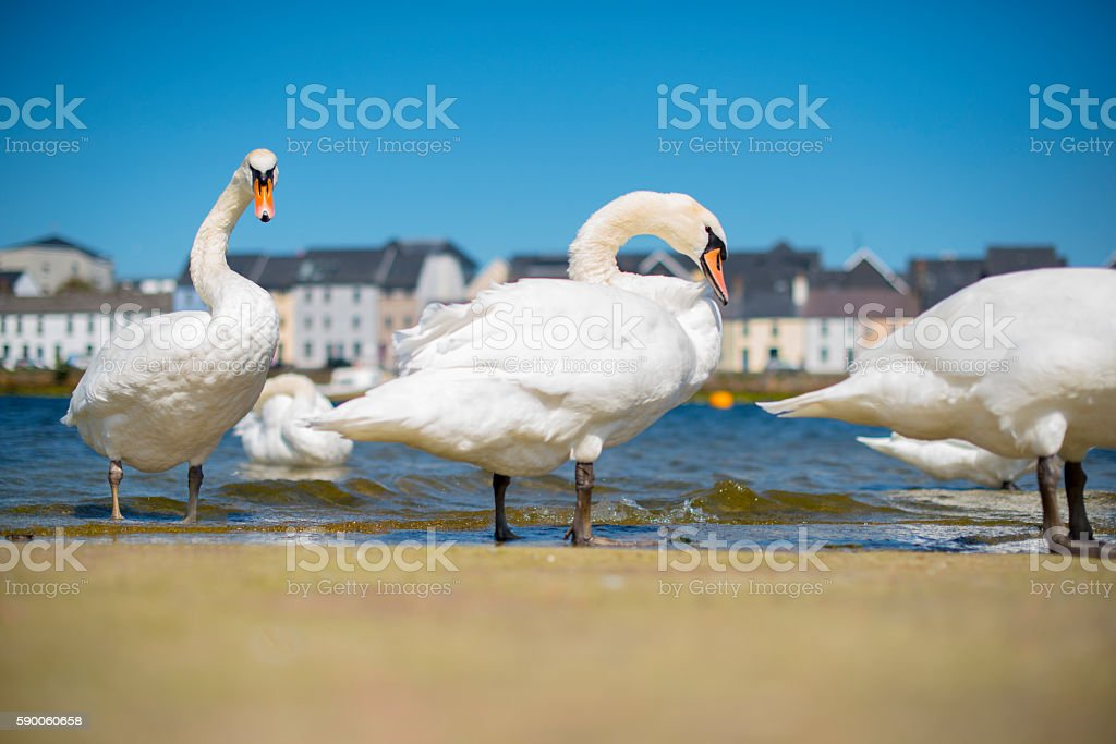 Flock of swan in Galway city stock photo