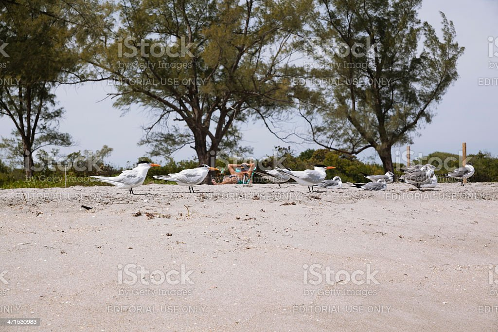 Flock of terns on the beach in Fort Lauderdale, Miami royalty-free stock photo