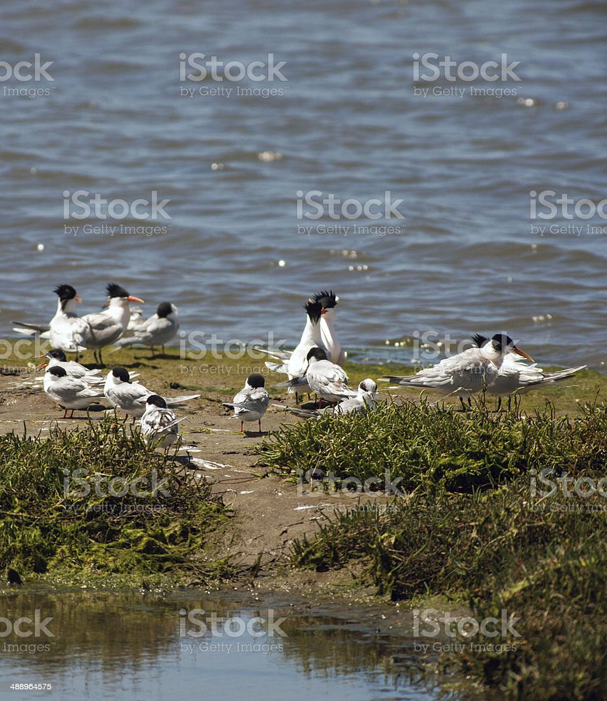 Flock Of Terns stock photo