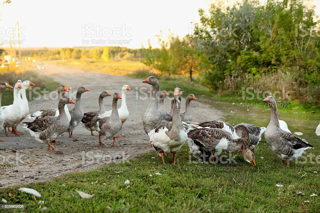 flock of the domestic geese strolling through the village stock photo