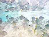 Flock of tropical fish. Hikkaduwa coral reef, Sri Lanka