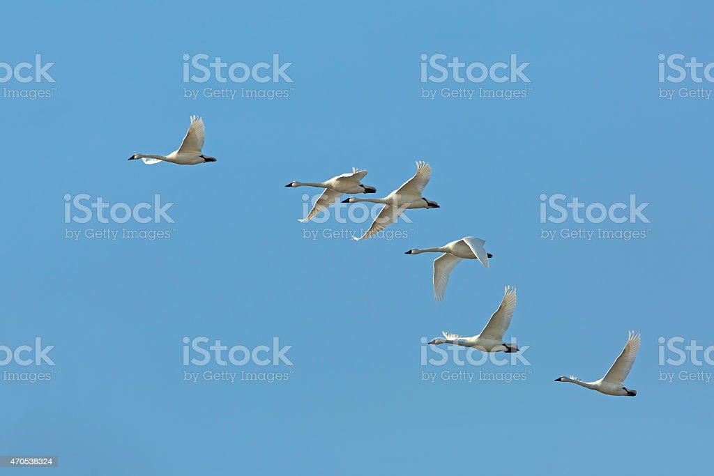 Flock of Tundra Swans migrating against a blue sky stock photo