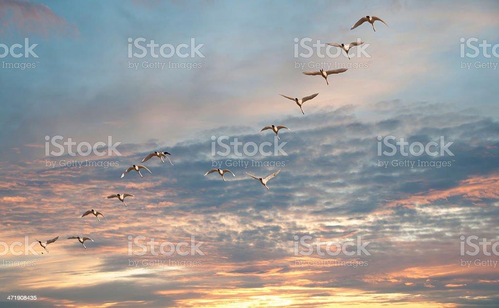 Flock of Tundra Swans stock photo