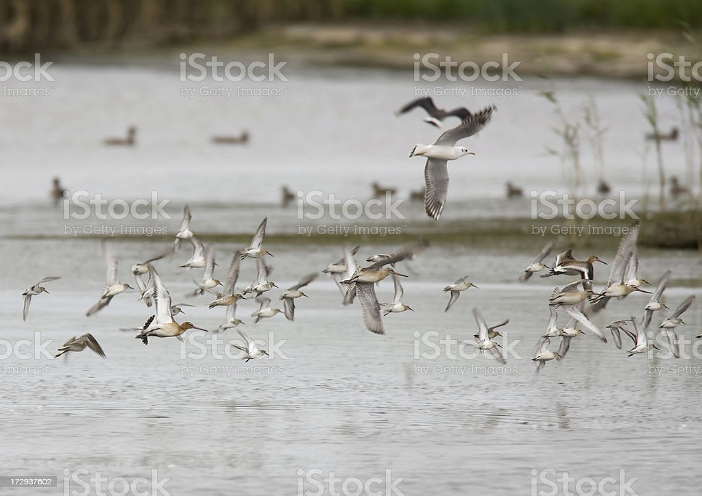 Flock of Waders royalty-free stock photo