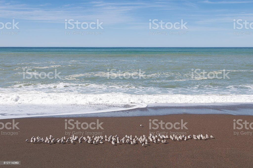 Flock of Western Snowy Plovers at Moonstone Beach, CA stock photo