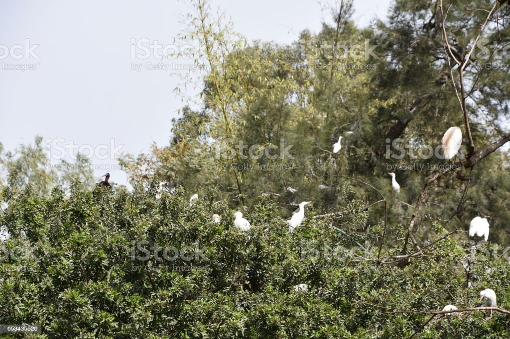 flock of white egrets on a  tree stock photo