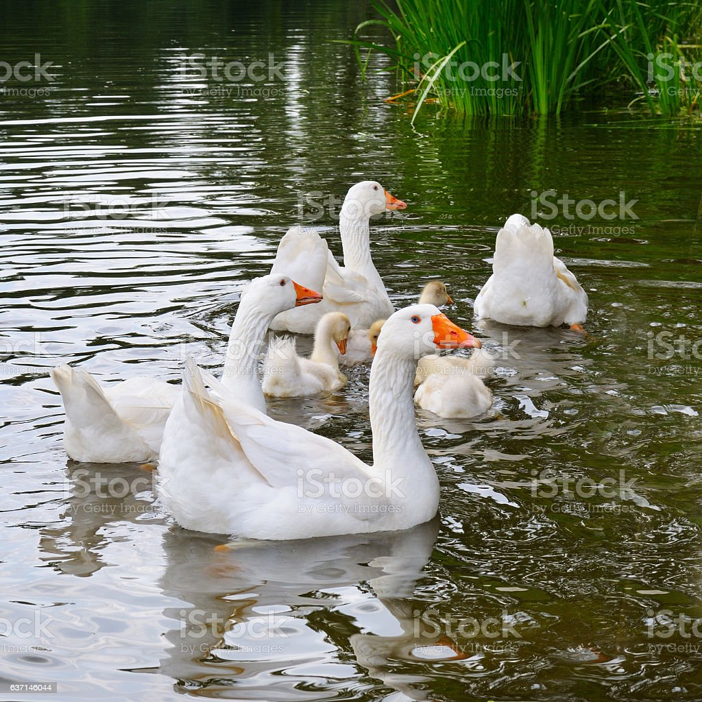 flock of white geese floats in the lake water stock photo