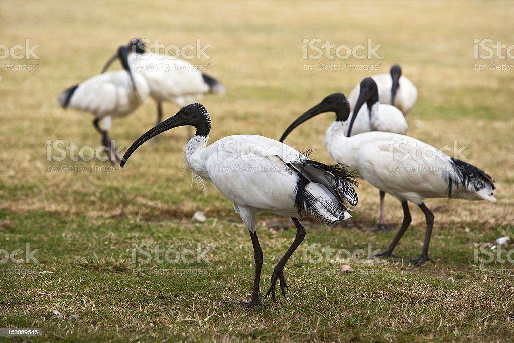Flock of white Ibis stock photo