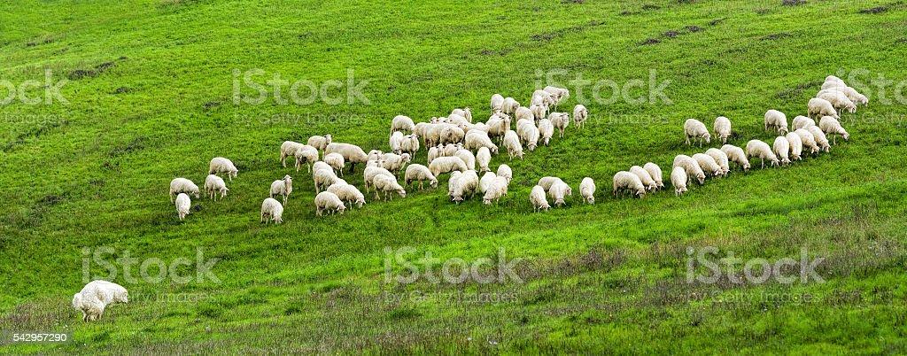 Flock of white sheep and white sheepdog on pasture stock photo