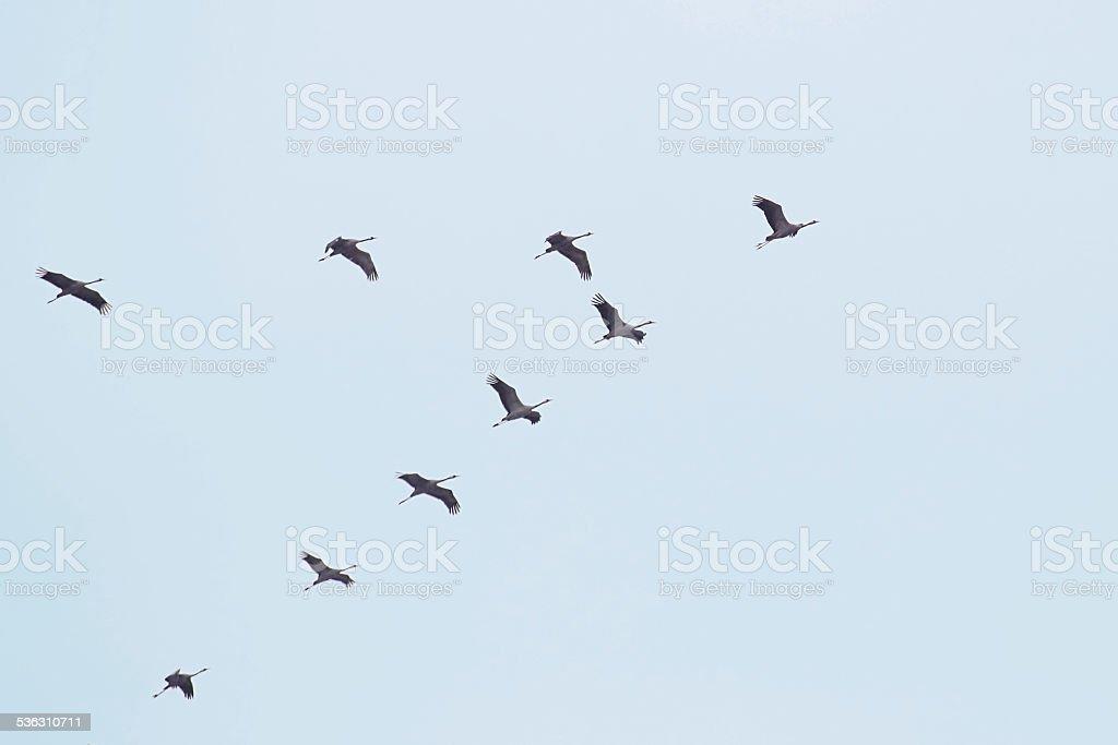 Flock Of White Storks stock photo