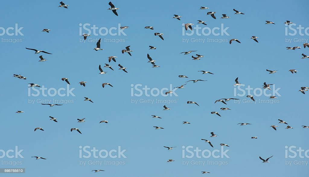 Flock of white-eyed gulls hovering in the sky stock photo