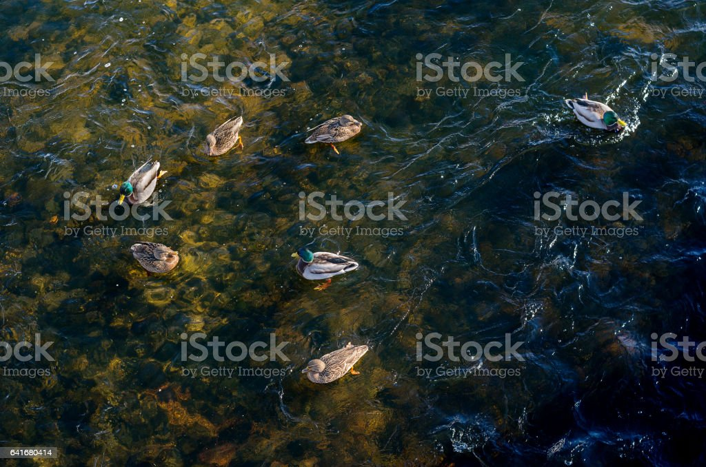 Flock of wild ducks floating on lake from view top stock photo