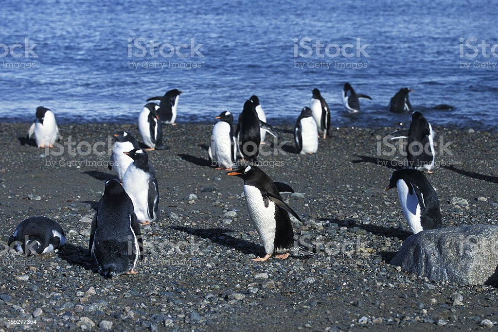 Flock of Wild Gentoo Penguins Standing on the Shore royalty-free stock photo