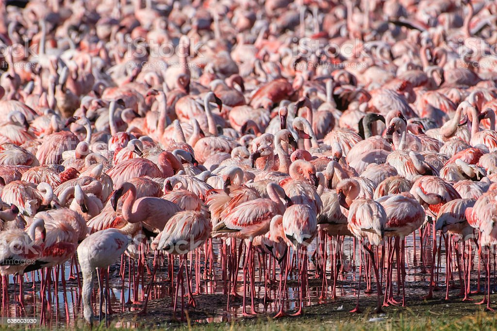 Flock of Wild Lesser Flamingos On Lake Nakuru stock photo