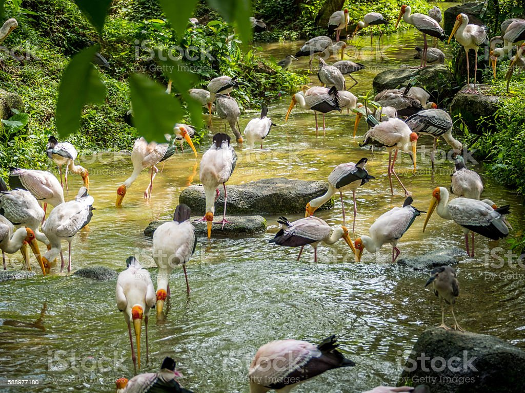 flock of Yellow Billed Storks stock photo