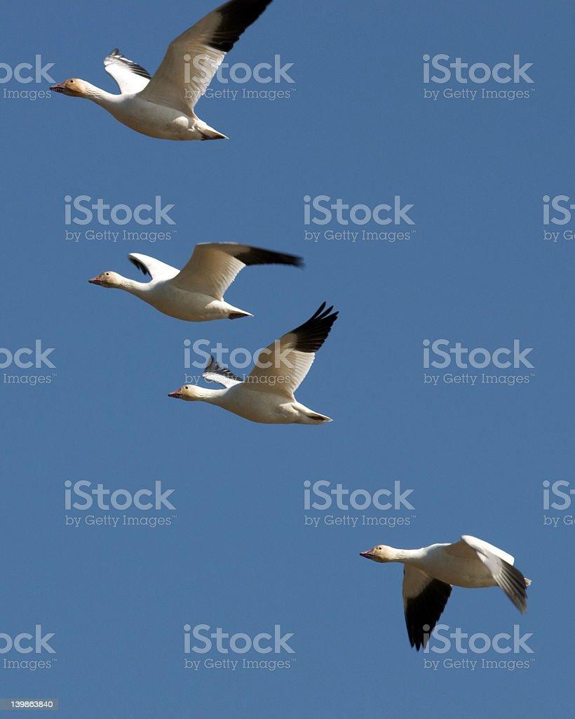 Flock stock photo