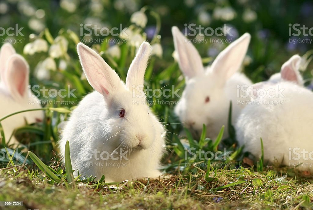 flock rabbits royalty-free stock photo