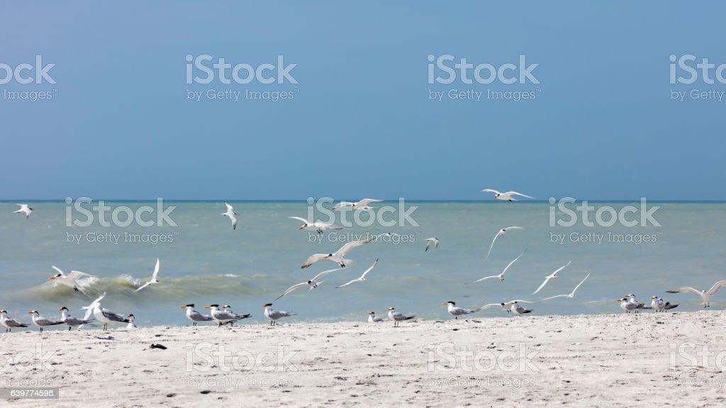 Flock royal terns (Thalasseus maximus) on the beach, Florida, USA stock photo