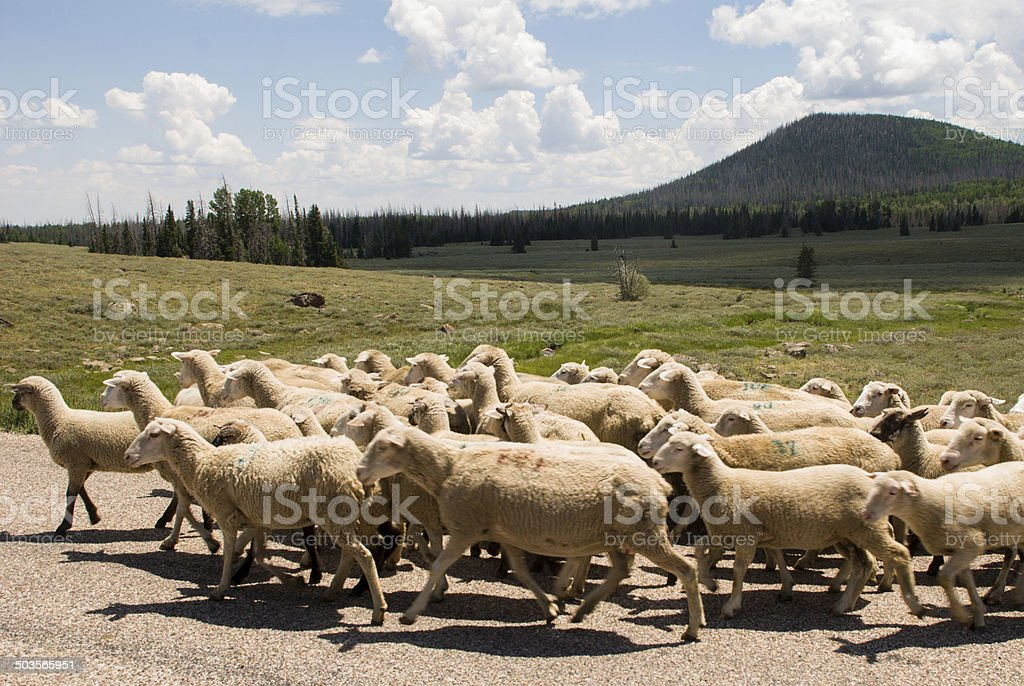 Flock Sheep along Road near Cedar Breaks National Monument Utah stock photo