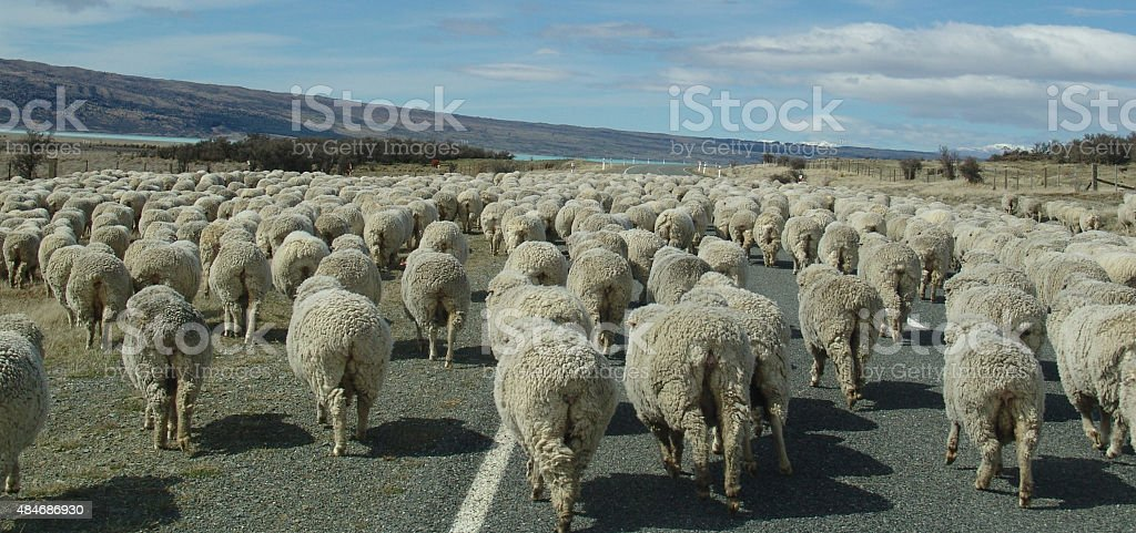 Flock sheep being moved on a  public road stock photo