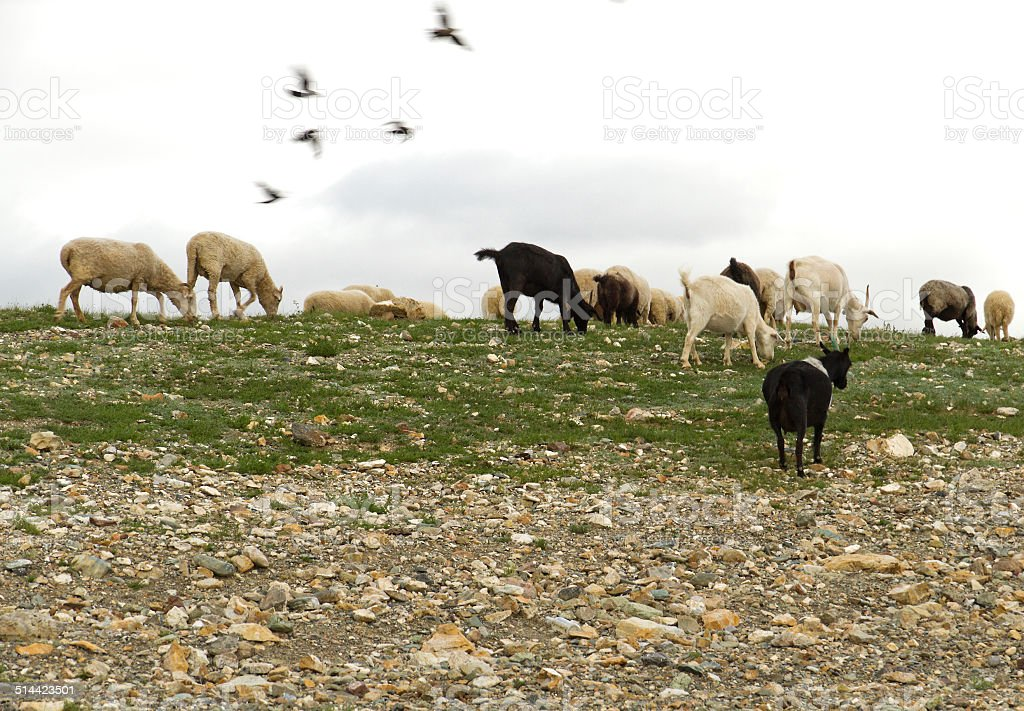Flock sheep goats grazing stock photo