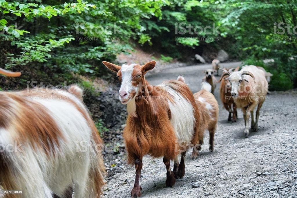 flock walking in a row stock photo
