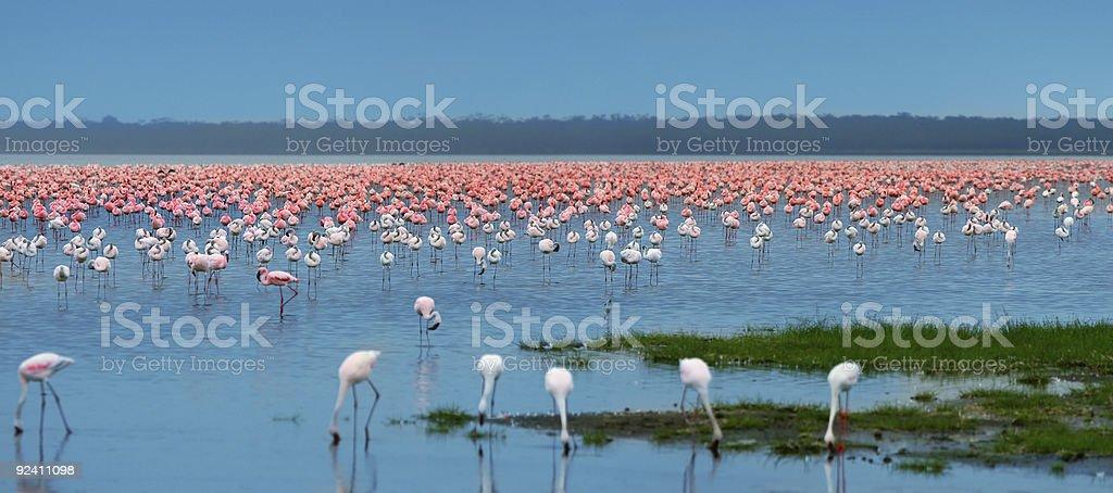 flocks of flamingo royalty-free stock photo