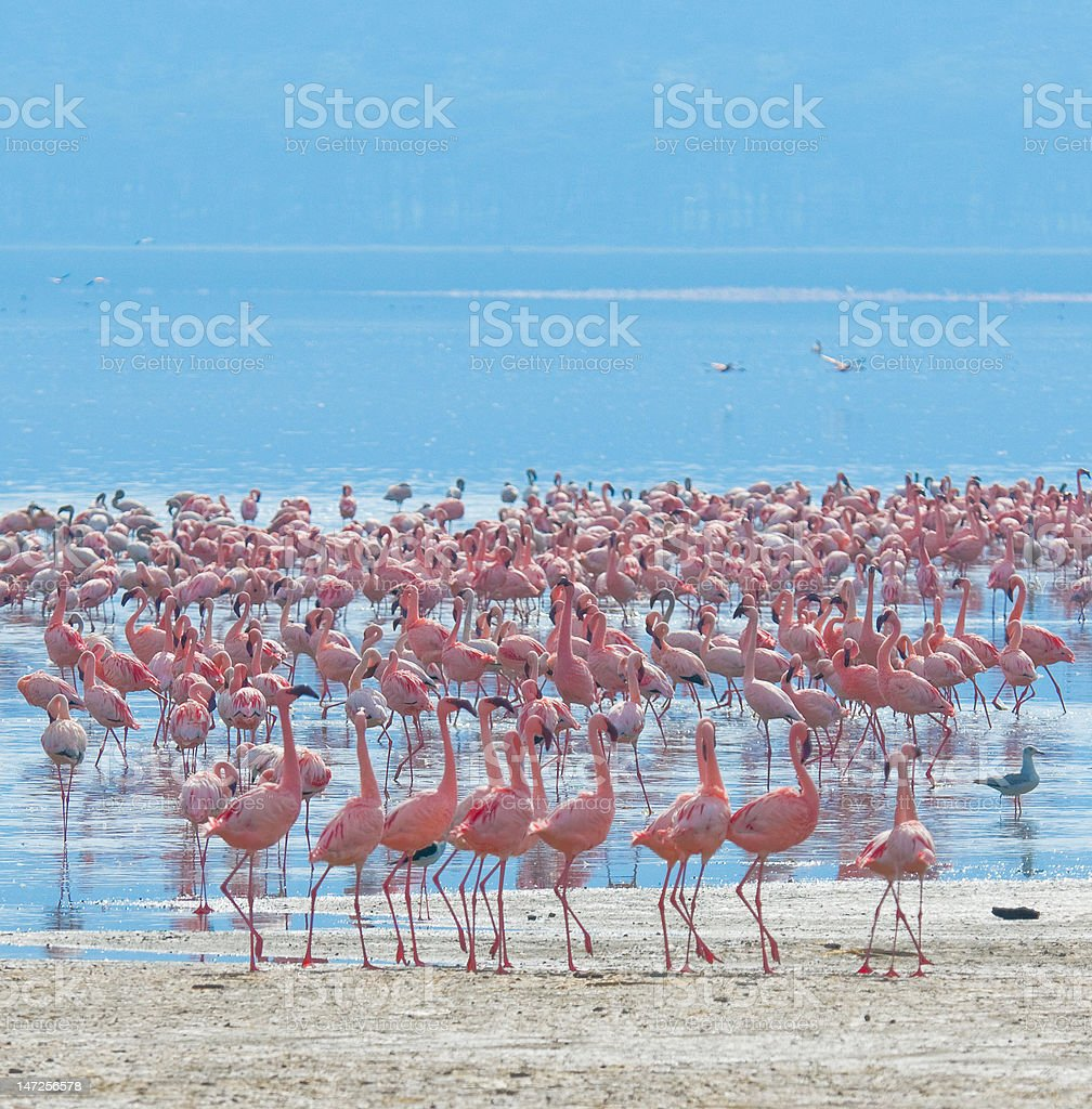 flocks of flamingos in the sunrise, lake nakuru, kenya stock photo