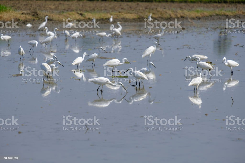 Flocks of pelicans. stock photo