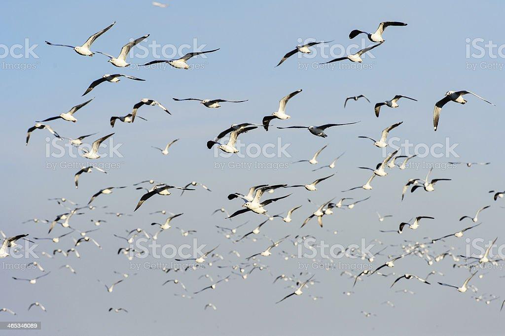 Flocks of Seagull under blue sky stock photo
